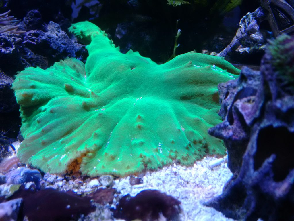 Green cabbage leather coral.